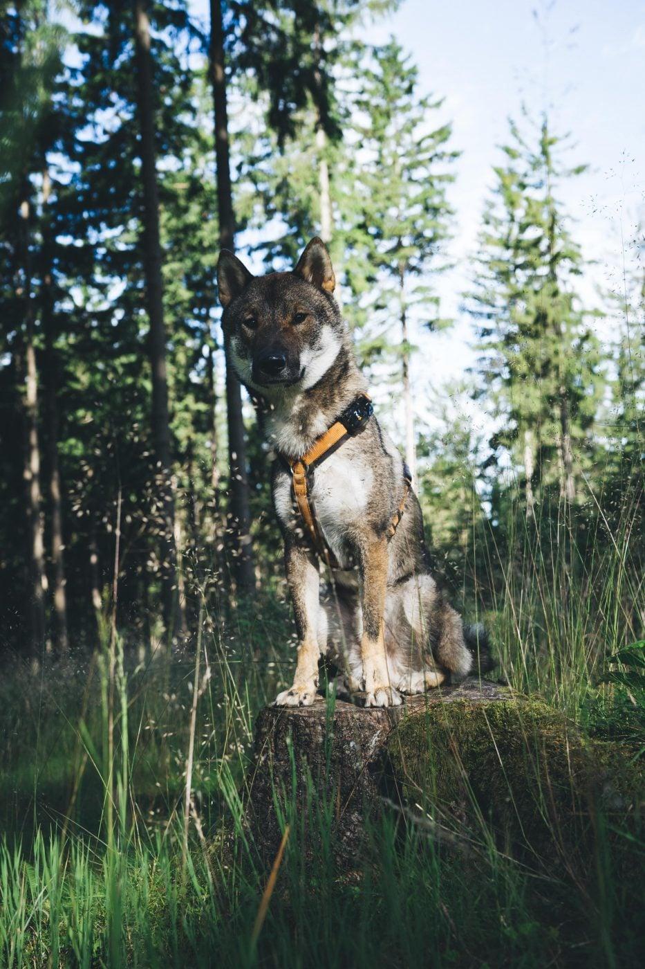 bild anwendungsgebiet wieso gps tracker hund pet finder 933x1400 - AG GPS Tracker für Hunde